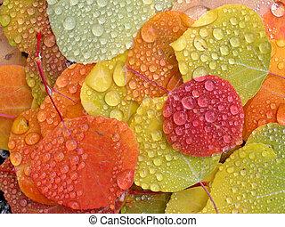 colorido, álamo temblón sale, con, gotas de lluvia