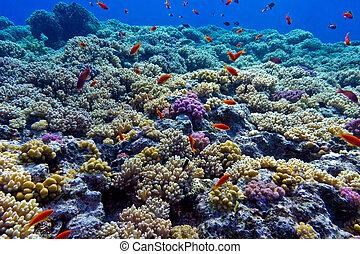 colorido, barrera coralina, con, duro, corales, en, el, fondo, de, mar rojo, -, submarino, foto