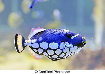 colorido, butterfly-fish, en, un, acuario