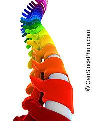 colorido, espina dorsal, anatomía, humano