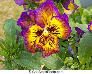 colorido, flor, tricolor, pensamiento, viola, florecimiento