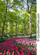 colorido, florecer, tulipanes, en, keukenhof, parque, en, holanda