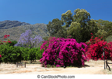 colorido, florecimiento, bougainvillea, y, jacaranda