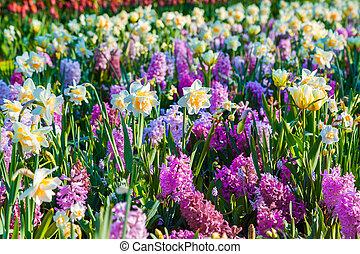 colorido, flores del resorte, en, el, keukenhof, parque