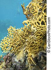 colorido, fondo, arrecife, tropical, submarino, coral, ...