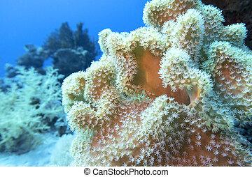 colorido, fondo, sarcophyton, arrecife, tropical, submarino...