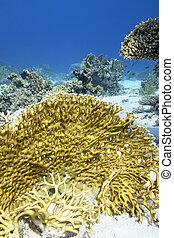 colorido, fuego, fondo, arrecife, tropical, submarino, coral...