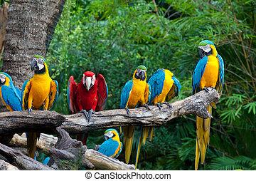 colorido, macaws