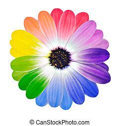 colorido, pétalos, en, margarita, flor, aislado