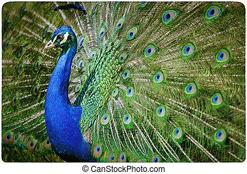 colorido, pavo real, plano de fondo