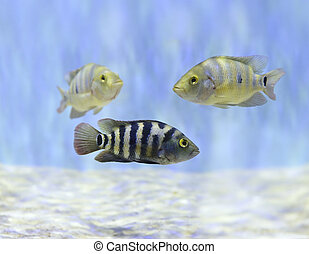 colorido, pez, el nadar bajo el agua
