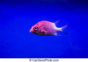 colorido, pez