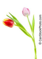 colorido, primavera, tulipanes