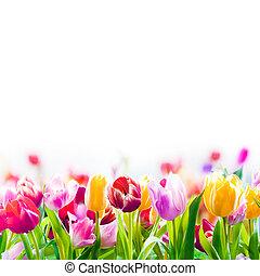 colorido, primavera, tulipanes, en, un, fondo blanco