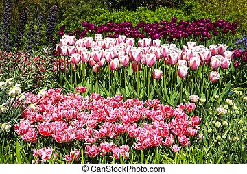 colorido, rosa, tulipanes, en, flor de primavera, parque