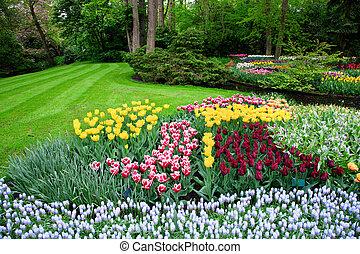 colorido, tulipán, flores, en, primavera