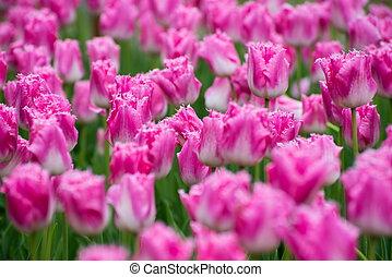 colorido, tulipanes