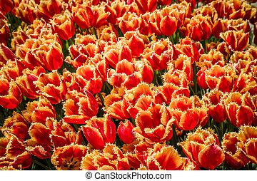 colorido, tulipanes, en el estacionamiento