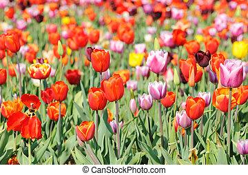 colorido, tulipanes, en, holanda