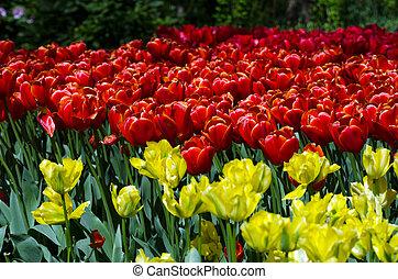 colorido, tulipanes, en, keukenhof