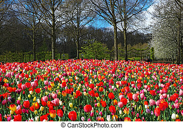 colorido, tulipanes, en, keukenhof, jardín, países bajos