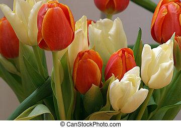 colorido, tulipanes, en, primavera