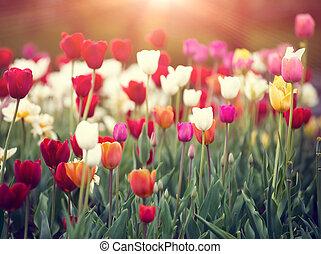 colorido, tulipanes, en, un, ocaso, en, primavera