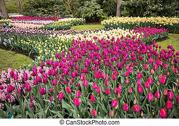 colorido, tulipanes, narcisos, y, jacintos, florecer, en, un, jardín