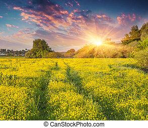 colorido, verano, salida del sol, en, el, pradera, de, amarillo, flowers.