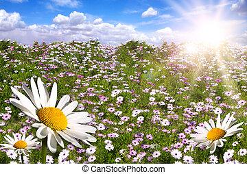 coloridos, chama, campo, sol brilhante, margaridas, feliz