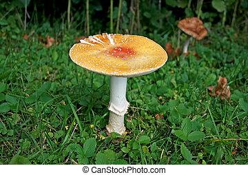 coloridos, cogumelo