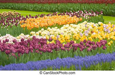 coloridos, holandês, tulips, em, keukenhof, parque
