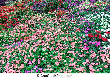coloridos, petunia, flores