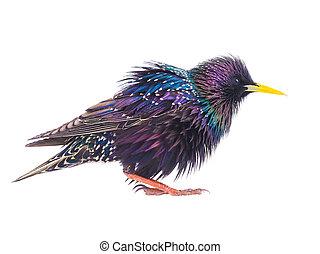 coloridos, plumage, de, um, starling, primavera