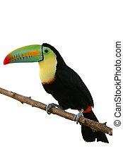 coloridos, tucano, fundo, pássaro, branca