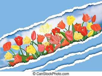 coloridos, tulips, com, papel rasgado, fronteiras