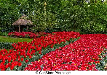 coloridos, vermelho, tulips, keukenhof, parque, lisse, em, holanda