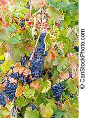 coloring the vineyard