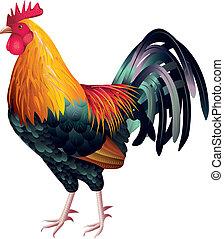 colorito, e, alto, dettagliato, gallo