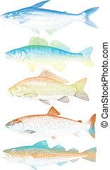 colorito, pesci, vettore