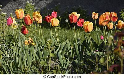 colorito, primavera, tulips