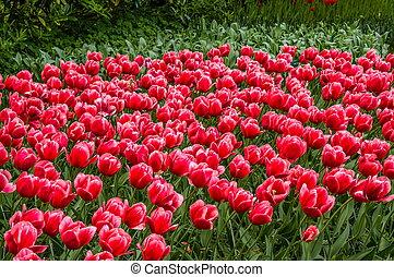 colorito, rosso, tulips, keukenhof, parco, lisse, in, olanda