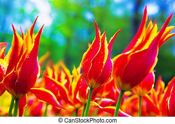 colorito, tulipano, fiori, in, primavera