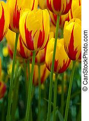 colorito, tulips