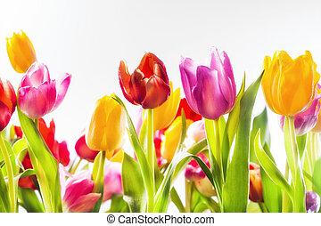 colorito, vivido, tulips, in, uno, campo
