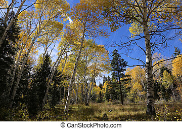 Colors of Fall, Birch trees in autumn