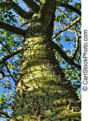Colossal Ceiba speciosa trunk in the garden - Colossal and ...