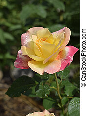 Colour changing rose with drops of dew.
