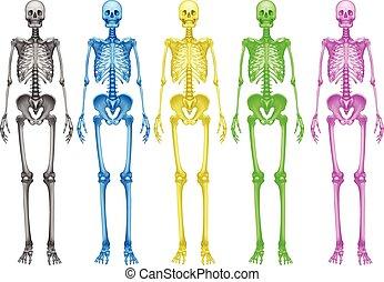 Coloured skeletons - Coloured human skeletons on a white...