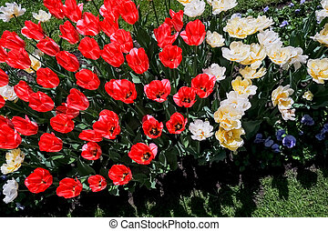 coloured tulips. Pink, white and red flower tulip illuminated by sunlight. Soft selective focus, close up tulip, toning. Floral background of brightly coloured tulips. Spring garden.